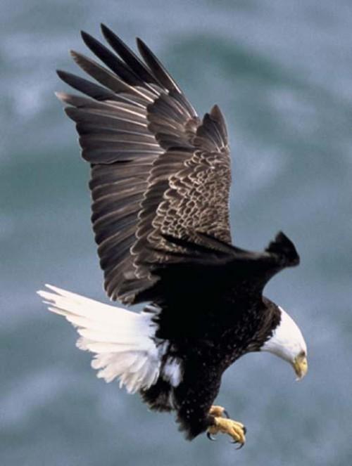 Bald Eagles Rebound In Louisiana The Times Of Houma Thibodaux